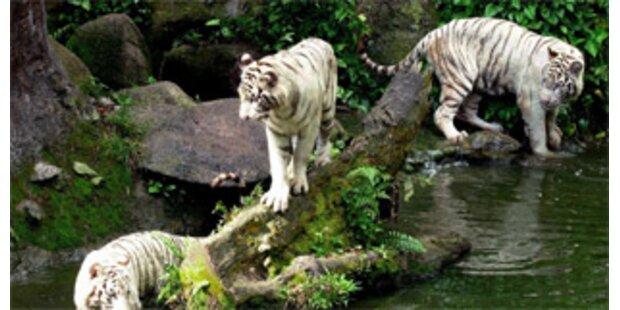 Tiger zerfleischen Zoo-Angestellten in Singapur