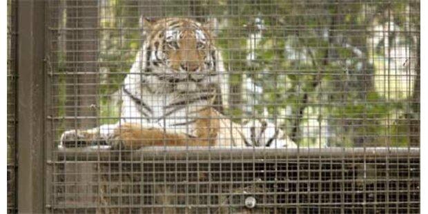 Tiger geht auf Einbrecher im Zoo los
