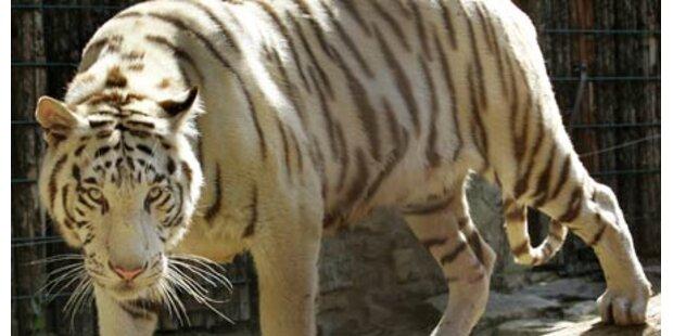 Wieder Tiger-Attacke in Deutschland