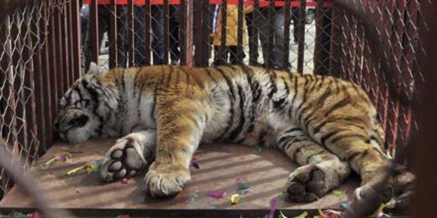 Tigerknochen zu Potenzmittel verarbeitet