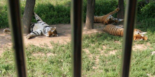 In Tigerkäfig spaziert: Mann zerfleischt