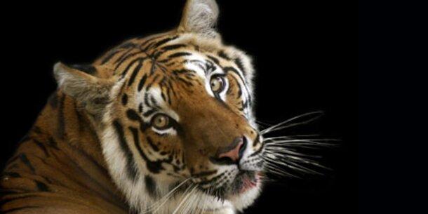 Leonardo DiCaprio kämpft für Tiger