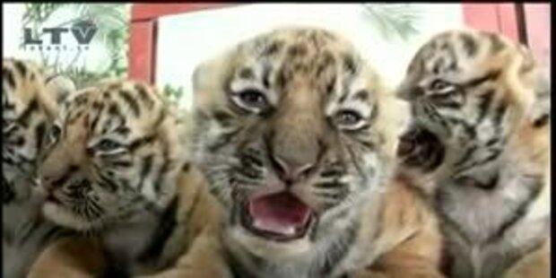 Putziger Tiger-Nachwuchs in mexikanischem Zoo
