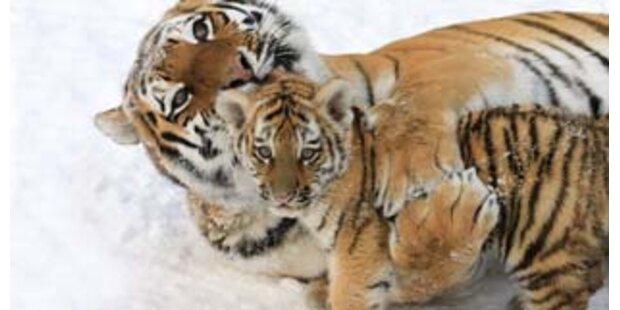 Unbekannte köpften Tiger in chinesischem Zoo