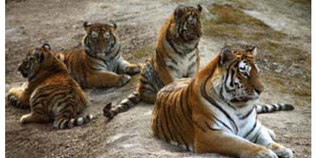 Vier Jungtiger sind die Stars im Zoo Schmiding