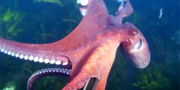 Tintenfisch flüchtet mit Videokamera
