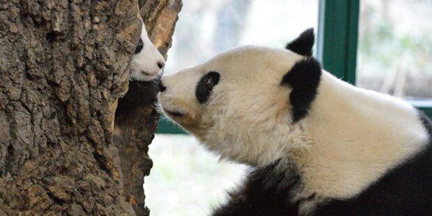 Mini-Panda verlässt Versteck