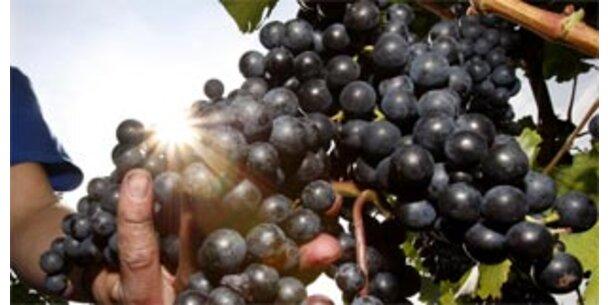 Weintrauben machen Kariesbakterien unschädlich