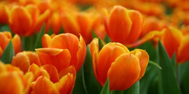 Tulpen in Amsterdam, Berlin entdecken
