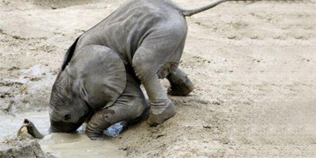 Elefantenbaby Tuluba ist eine Wasserratte