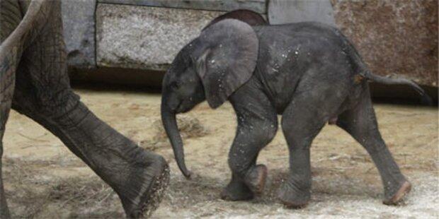 Wiener Elefantenbaby heißt Tuluba