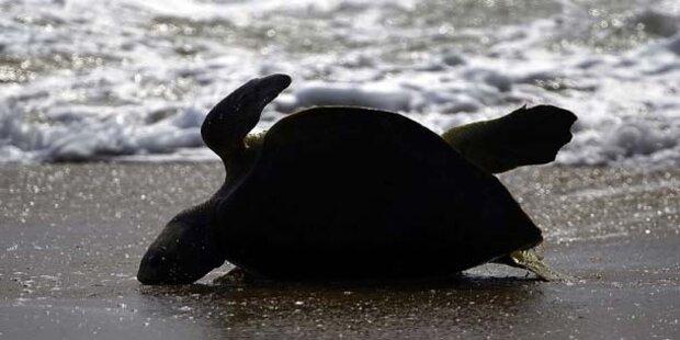 Frau trampelt über Gelege von Seeschildkröten