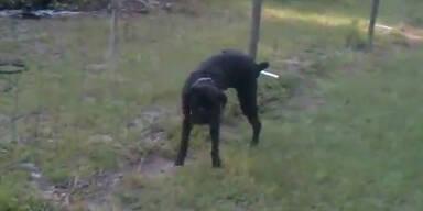 Schock: Hund pinkelt an einen Elektrozaun