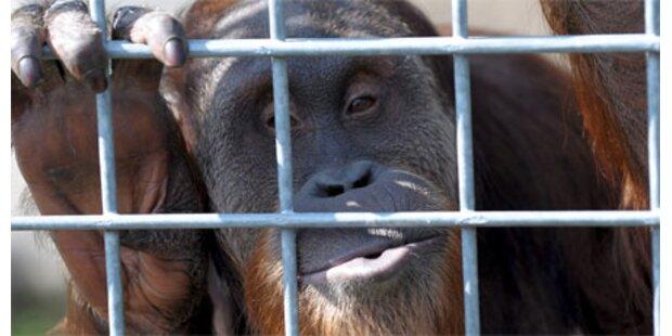 Dieser Affe brachte sich das Pfeifen bei