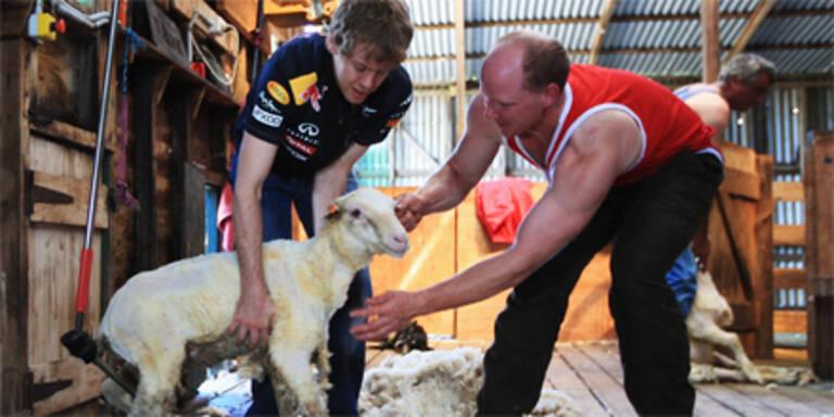 Vettel als Schafscherer noch kein Hit