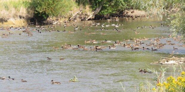 Tausende Enten ausgesetzt: Anzeige!