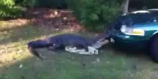 Alligator attackiert Polizeiwagen