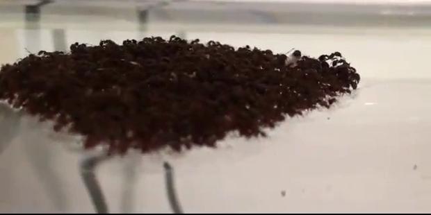 Naturphänomen: Ameisen bilden Floss