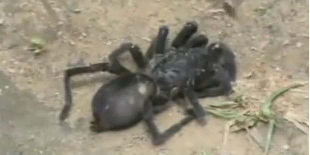Haarige Riesenspinnen attakieren Bewohner