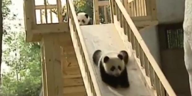 So süß: Baby-Pandas rutschen um die Wette