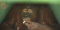 Rauchender Orang Utan muss auf kalten Entzug