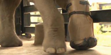 Beinprothese: Elefant kann wieder laufen