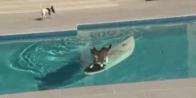 Unglaublich: Katze flüchtet auf Surfbrett
