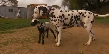 Dalmatiner adoptiert gepunktetes Lamm