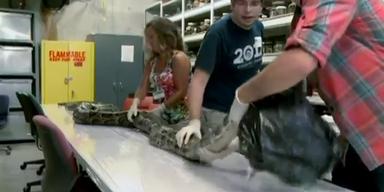 Mega-Pythonschlange in Florida gefangen