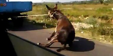 Tierquäler schleift Esel hinter seinem Auto her