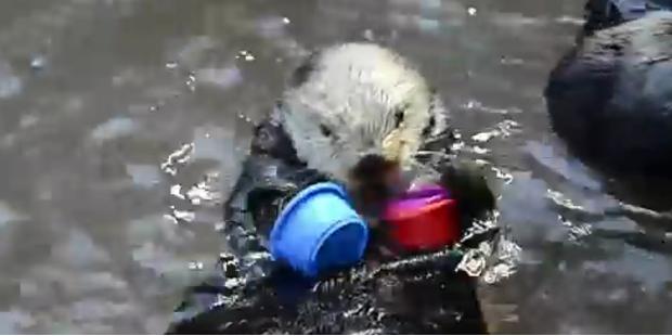 So süß: Seeotterdame Nellie stapelt Hütchen