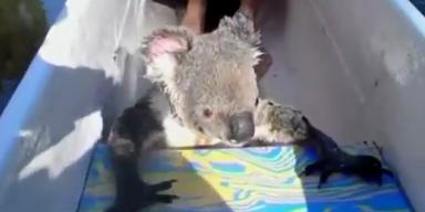 Australien: Süßer Koala hängt sich an ein Kanu
