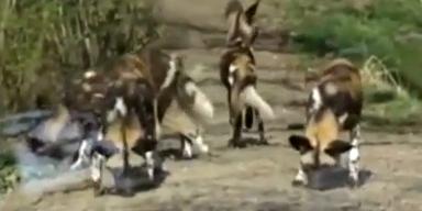 Wildhunde zerfleischen kleinen Bub in US-Zoo