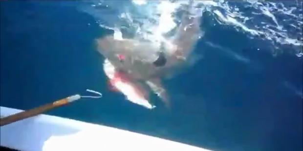 Dreister Hai reißt sich Fisch von Angelhaken