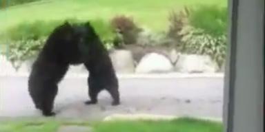 Bären kämpfen direkt vor der Haustüre