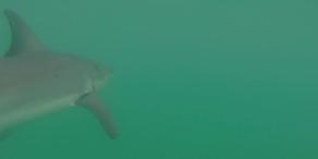 Surfer schwimmt mit Weißem Hai