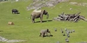Baby-Elefant jagt Vögel