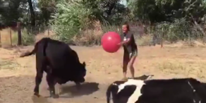 Tierischer Spaß: Kühe spielen Fußball