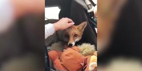 Ausgefuchst: Foxi verzückt die Wiener