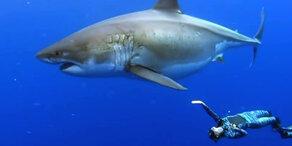 Taucher stoßen auf riesigen Weißen Hai