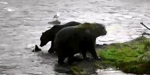 Unsere Tiere - Alaska-Braunbären auf Lachsjagd
