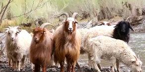 Unsere Tiere - PETA-Video: Kaschmir-Verbannung in der Mode