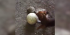 Dieser Hund und diese Schildkröte spielen Ball