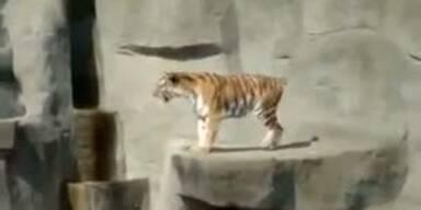 Mutiger Vogel attackiert brüllenden Tiger