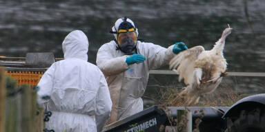 Erstmals H5N8-Vogelgrippe-Virus bei Menschen nachgewiesen