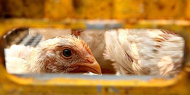 Vogelgrippe in Holland ausgebrochen