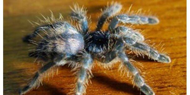 Globalisierung bringt neue Spinnen nach Europa