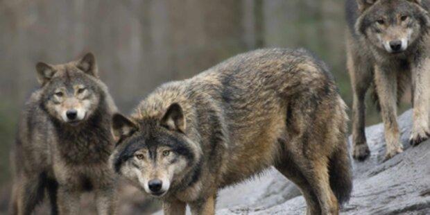 Freilaufender Wolf schleicht durch Lungau