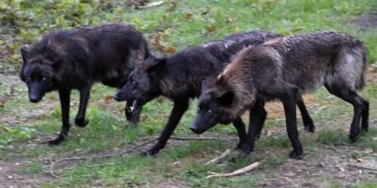 ernstbrunn, wolf science center