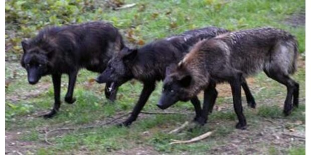 Blinde Wölfin in Wildpark erstickt